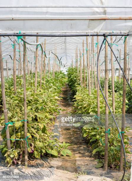 Agriculture vegetable gardening in plastic foil greenhouse