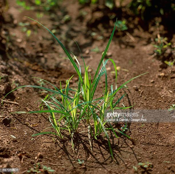 Agriculture - Weeds, Yellow Nutsedge (Cyperus esculentus) aka. Nut Grass, Yellow Nutgrass