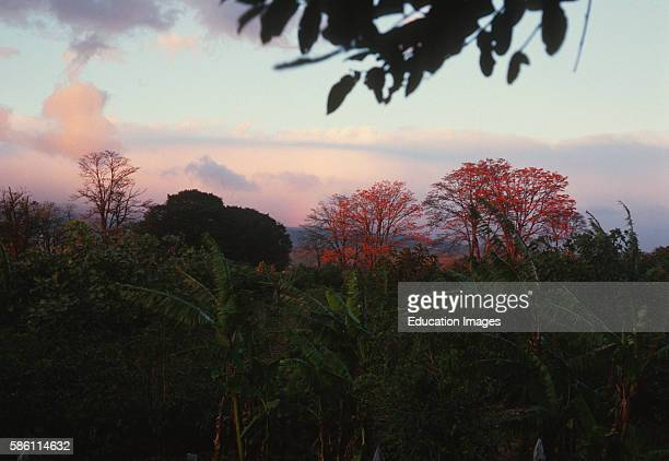 Agroforestry Nitrogen fixing Coral tree bananas and coffee mix plantings Costa Rica Erythrina sp