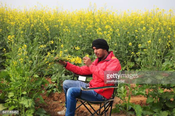 Agronomist checking mustard crop
