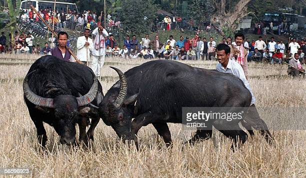 Two buffalos fight during the Bhogali Bihu harvest festival at the Ahatguri village some 90 kms east of Guwahati the capital city of Indias...