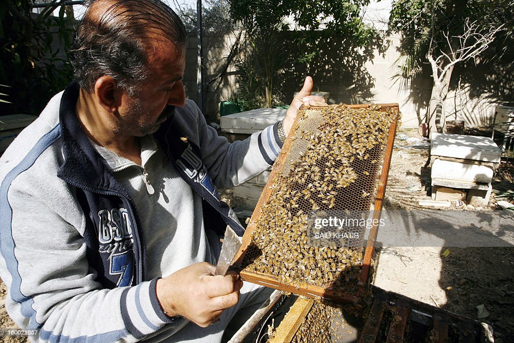 Ahmed Zoarob, a Palestinian agronomist turned healer, holds a bee hive outside his clinic on January 24, 2013 in the southern Gaza Strip city of Rafah. Zoarob uses the bees to sting those who have come to him for help -- and amid the territory's deepening isolation, his clinic has been transformed into a hive of activity. Most claims of apitherapy -- the medical use of bee venom -- are anecdotal and have not been proved to the satisfaction of scientists, although believers say it helps relieve pain from multiple sclerosis and rheumatoid arthritis and certain other ailments. AFP PHOTO / SAID KHATIB