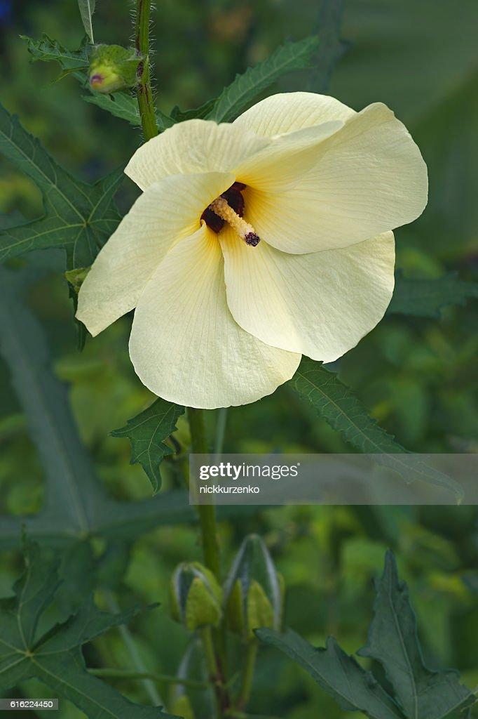 Aibika flower : Stockfoto