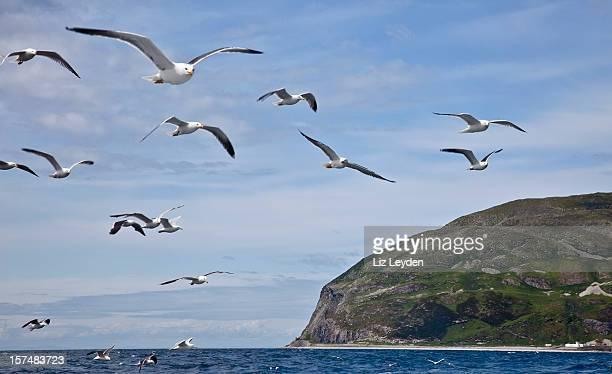 Ailsa Craig with gull flock