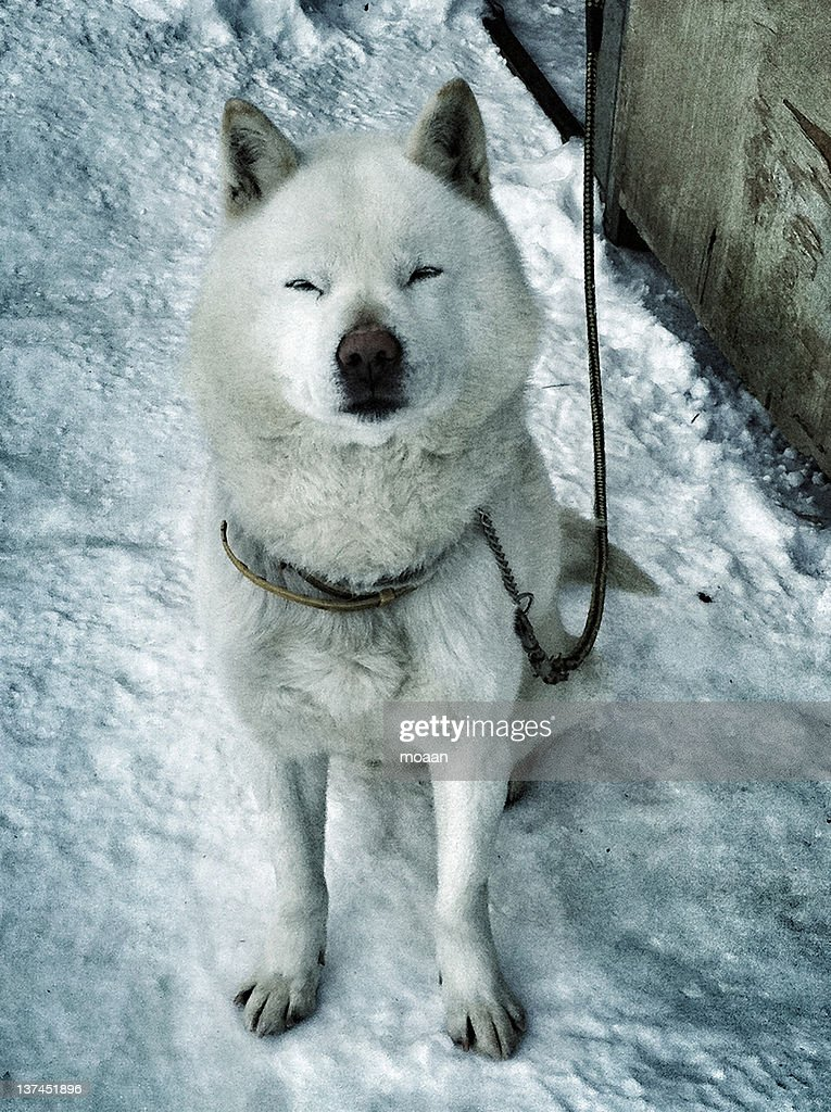 Ainu Dog on snow : Stock Photo