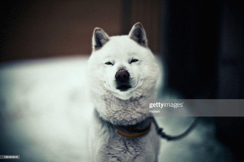 Ainu dog : Stock Photo