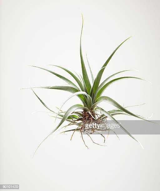 Air Plant on White