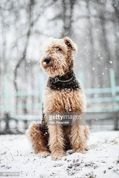 Airedaleterrier Hund sitzen unter Schneefall