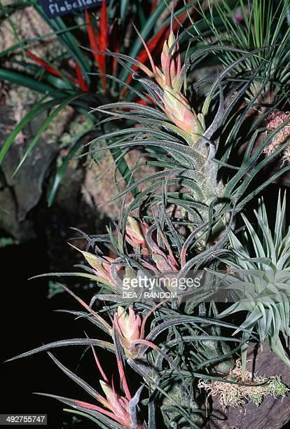 Airplant Bromeliaceae
