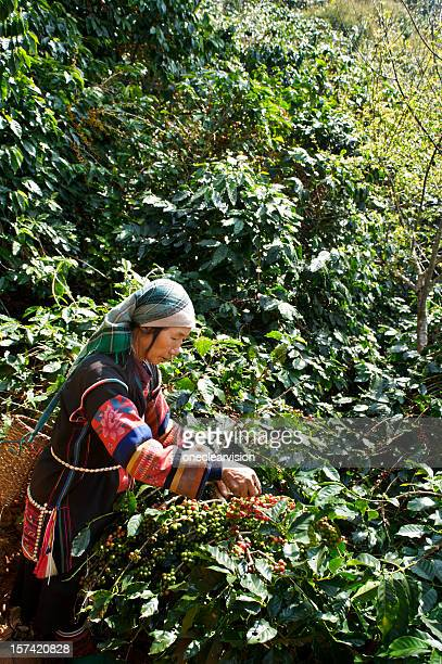 Akha Coffee Harvest