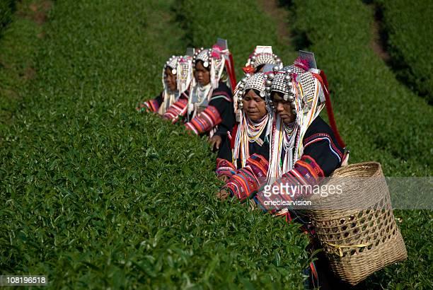 Ethnie Akha thé tous les gens