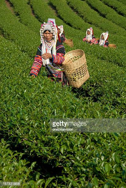 Akha Tea Pickers