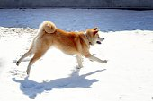 Akita dog running in the snow