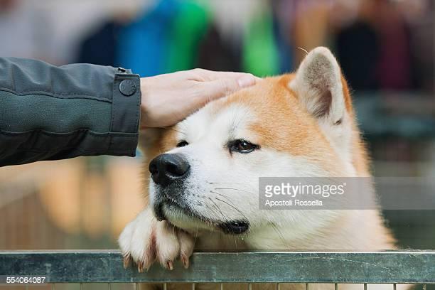 Akita inu, Japanese dog