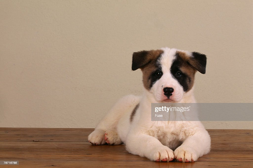 Akita Puppy : Stock Photo
