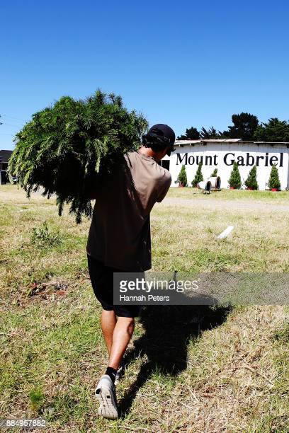 Akshay Raju carries a Christmas tree for sale at Mount Gabriel farm on December 4 2017 in Auckland New Zealand Mount Gabriel Christmas Tree Farm...