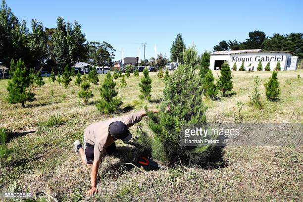 Akshay Raju cuts down a Christmas tree for sale at Mount Gabriel farm on December 4 2017 in Auckland New Zealand Mount Gabriel Christmas Tree Farm...