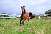 braunes Quarter Horse läuft auf der Koppel im Sonnenschein
