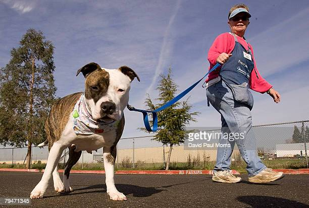 Akuti a 1yearold American Staffordshire Terrier goes for a walk with volunteer Joanne White at the Sacramento SPCA February 1 2008 in Sacramento...