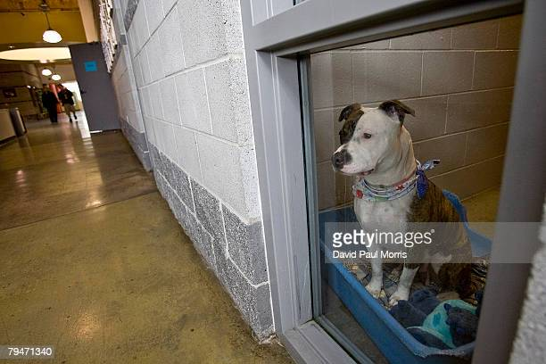 Akuti a 1yearold American Staffordshire Terrier looks out the window at the Sacramento SPCA February 1 2008 in Sacramento California Akuti is one of...