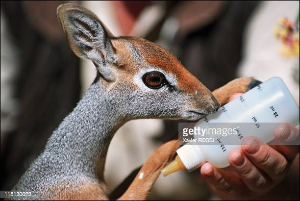 Al Wabra wildlife preservation Sheikh Saoud AlThani's Noah's Ark in Qatar in January 2003 A Phillip's dikdik called Daisy drinks a baby bottle full...