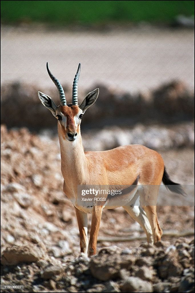 Al Wabra wildlife preservation Sheikh Saoud AlThani's Noah's Ark in Qatar in January 2003 Redfronted gazelle originally from the Sudan