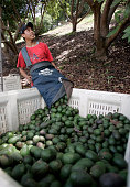 Alam Gonzales 20 empties a bag of avocados he picked on Richard and Mary Louise Sanchez land The Sanchezs' grow avocados on 50 acres of their land in...