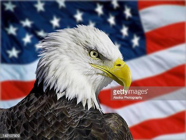 Alaska bald eagle against flag
