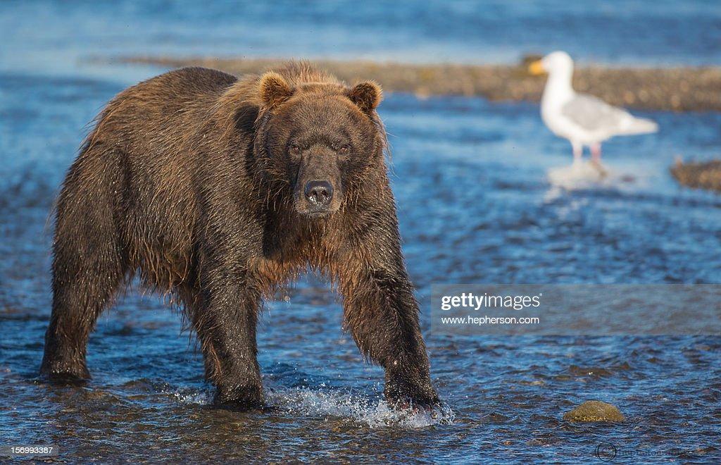 Alaska Brown Bear (Ursus arctos) : Stock Photo