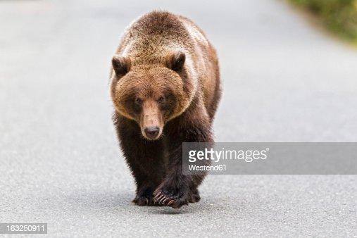 USA, Alaska, Brown bear walking on road near Chikoot Lake