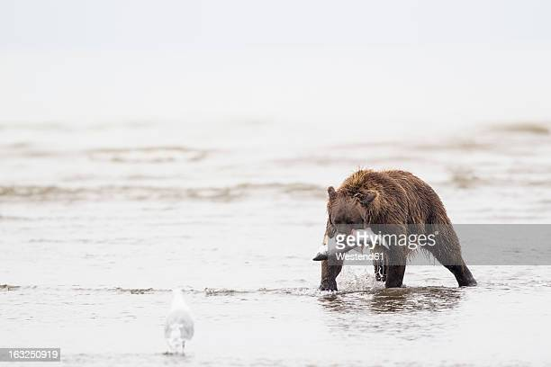 USA, Alaska, Brown bear with caught salmon in Silver Salmon Creek at Lake Clark National Park and Preserve