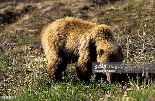 USA Alaska Denali National Park Grizzly Bear About 4 Yrs Old