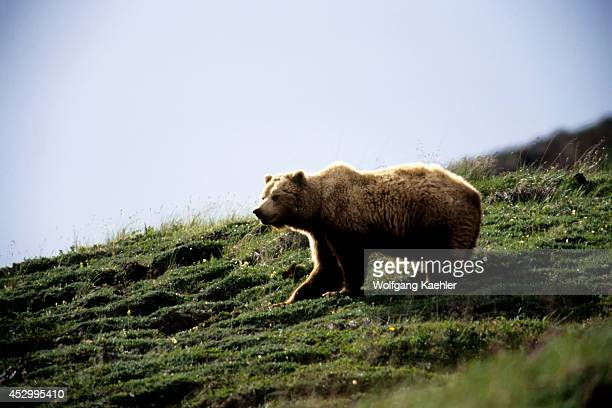 USA Alaska Denali National Park Grizzly Bear