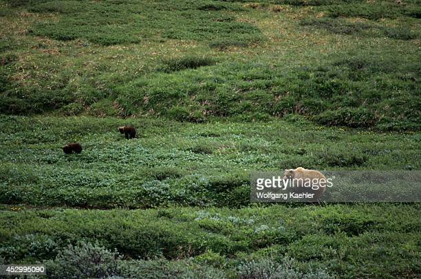 USA Alaska Denali National Park Grizzly Bear Sow With Cubs About 5 Months Old