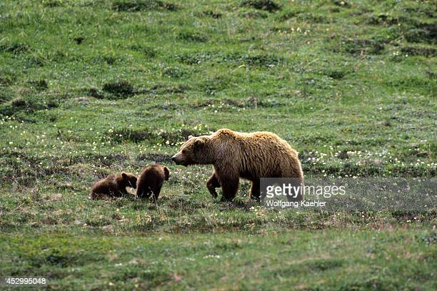 USA Alaska Denali National Park Grizzly Bear Sow With Cubs