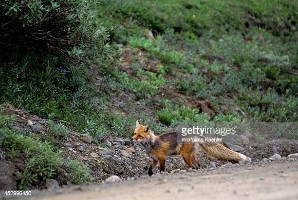 USA Alaska Denali National Park Red Fox On Road