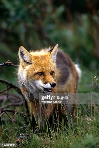USA Alaska Denali National Park Red Fox