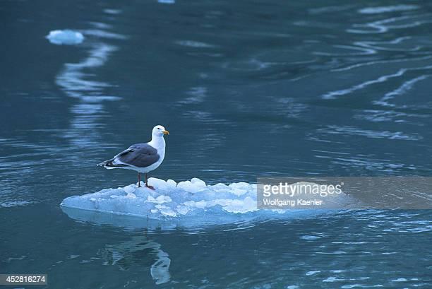 USA Alaska Glacier Bay Np Glaucouswinged Gull On Ice