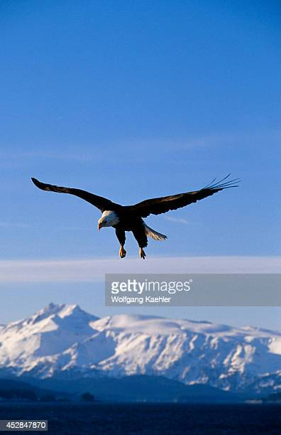 USA Alaska Homer Spit Bald Eagle Flying Approaching Landing Mountains In Background