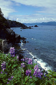 USA Alaska Kodiak Island Coastline At Abercrombie State Park With Lupines In Foreground