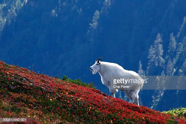 USA, Alaska, Revillagigedo Island, John Mountain, male moutain goat