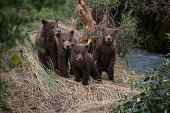 A group of Alaskan Brown Bear, grizzly, Cubs waiting for mom to return.