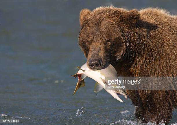 Alaskan Brown Bear with Pink Salmon