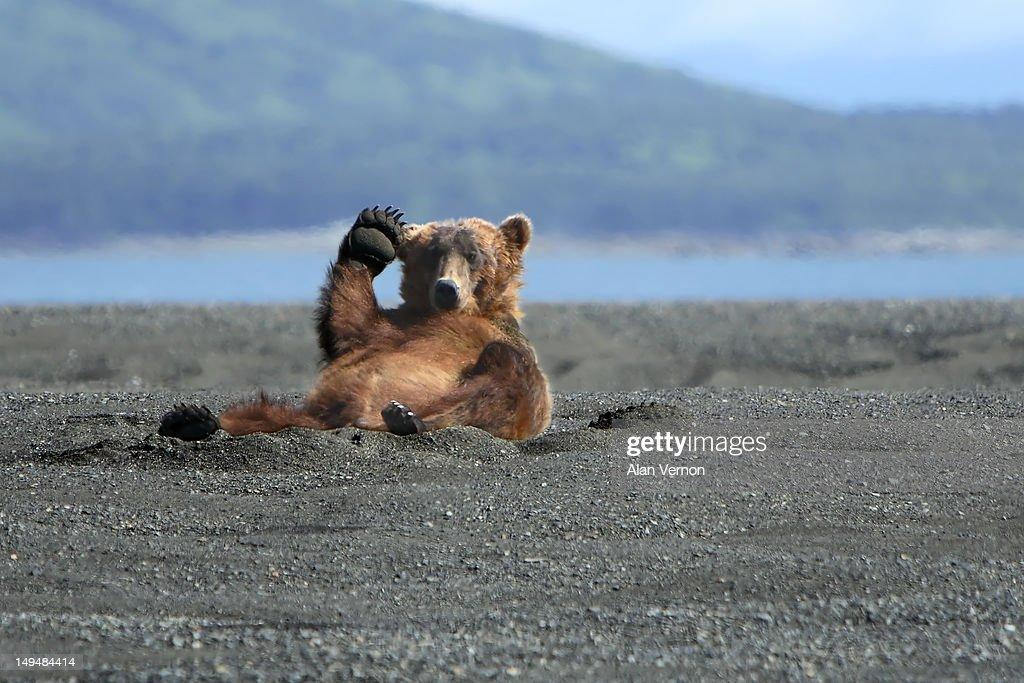 Alaskan Coastal Brown bear (Ursus arctos ) waving a friendly Hi whilst relaxing on the beach on the Katmai peninsula.