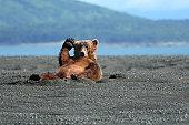 Alaskan Coastal Brown bear waving