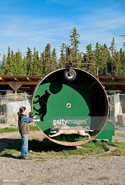 Alaskan Huskey sled dog on training wheel at Jeff King's Huskey Homestead Kennel