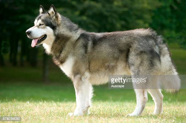 Alaskan malamute Canis familiaris has a very thick coat of two layers coarse outer hairs over an oily woolly coat Named after a nomadic Inuit people...