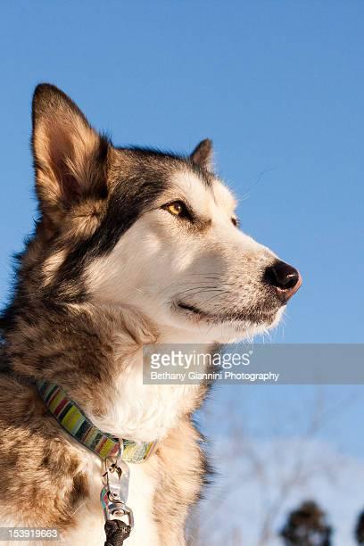 Alaskan Malamute dog portrait against blue sky