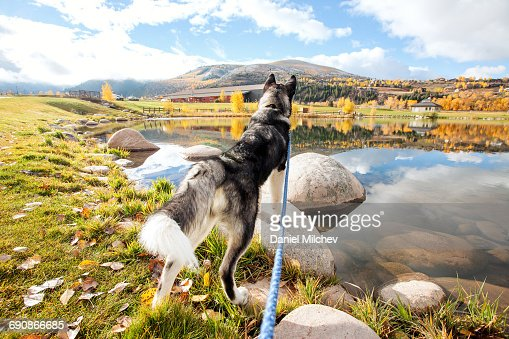 Alaskan malamute looking over a lake in the fall.