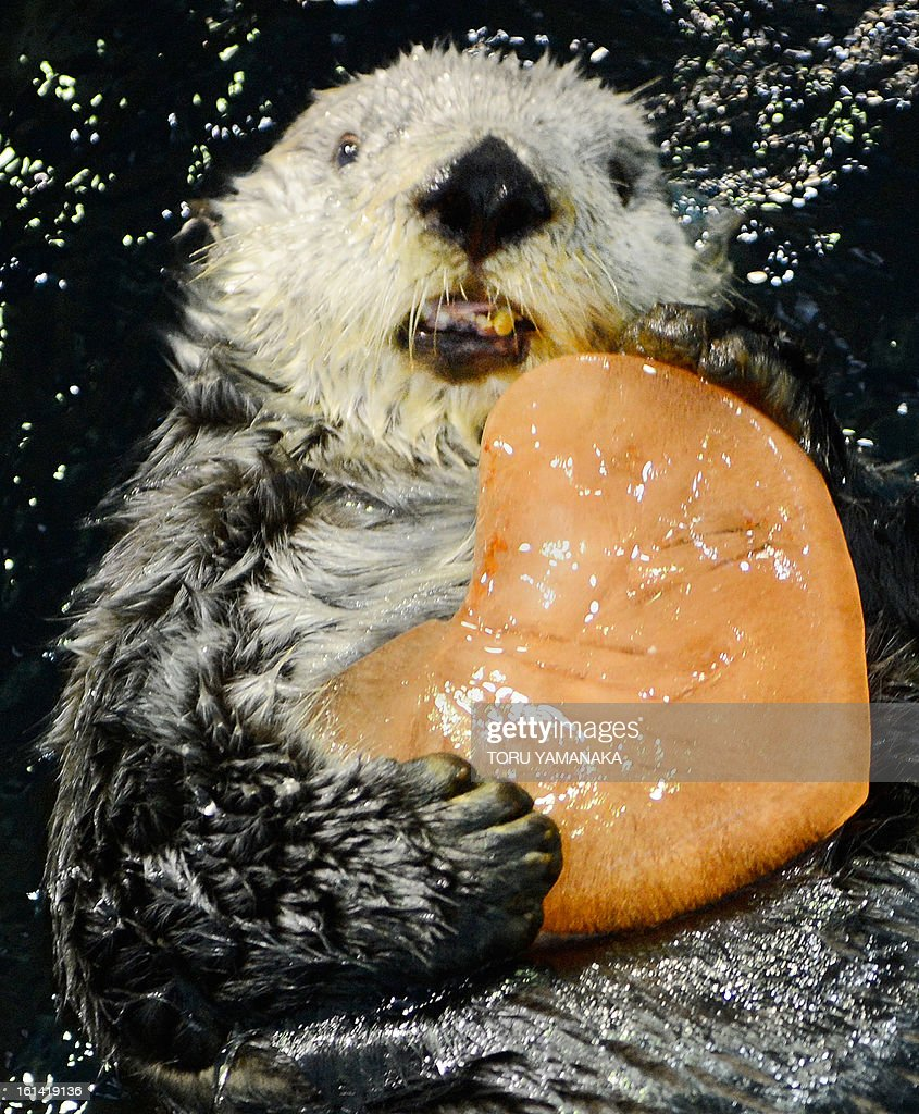 Alaskan sea otter 'Yutan' swims as he holds a heart-shaped pice of ice given to him by his keeper at the aquarium at the Hakkeijima Sea Paradise amusement park in Yokohama, suburban Tokyo, on February 11, 2013. Visitors can attend the event once a day in the afternoon until February 17 amid celebrations for St. Valentine's Day. AFP PHOTO/Toru YAMANAKA